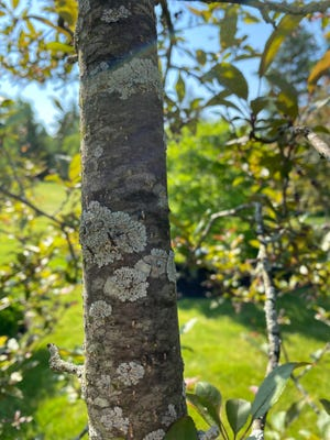 Lichens are harmless fungi that grow on the bark of trees as well as rocks and other surfaces.
