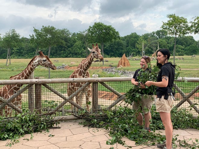 """Taylor Hann, (left), head keeper of the Columbus Zoo and Aquarium's Heart of Africa exhibit, and Madison Denison, a zookeeper, demonstrate on Monday the tree trimming materials, or """"browse,"""" that they will feed to the giraffes as a result of a new partnership with electric utility AEP Ohio where tree trimmings and downed trees branches collected by utility workers will be used to feed animals at the zoo and The Wilds safari park near Cumberland, Ohio"""