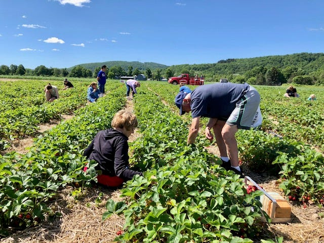 Visitors to the Village of Arkport can find the Schultheis Strawberries Pick-Your-Field on Route 36 across from the Village Cafe.