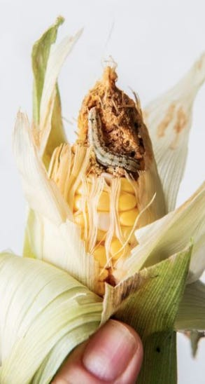 Corn earworms seem to love sweet corn as much as people do.
