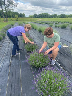 Kim Hansen and Kris Straub, sisters and co-owners of Tenderloin Farms in Edwardsville, pull weeds by hand at their lavender farm. Before opening their u-pick lavender patch to visitors, they inspect several varieties that are in full bloom.