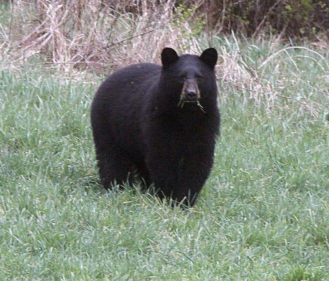 Black bears don't rank high in the fatherhood ratings.