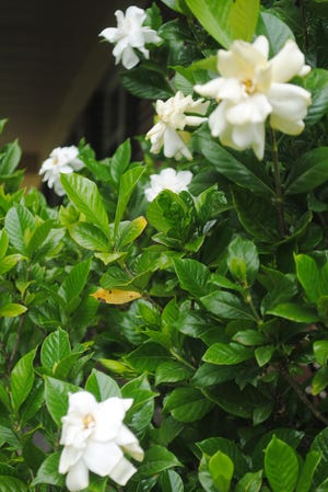 The large gardenia near our porch has just begun blooming. Each day, more and more lovely creamy aromatic blossoms appear. I do not have to deadhead because the blossoms drop to the ground as the flower wilts.