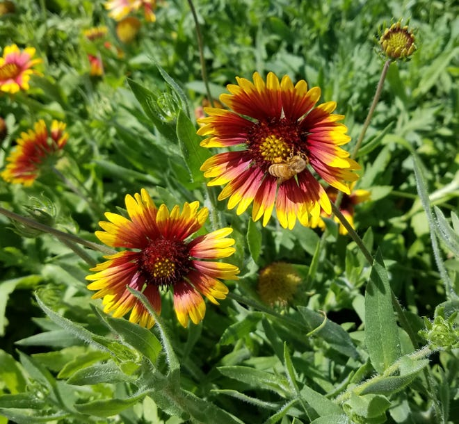 Gaillardia does well in a sunny spot.