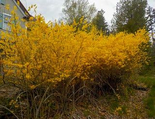 Forsythias are a flowering shrub that belongs to the olive family.