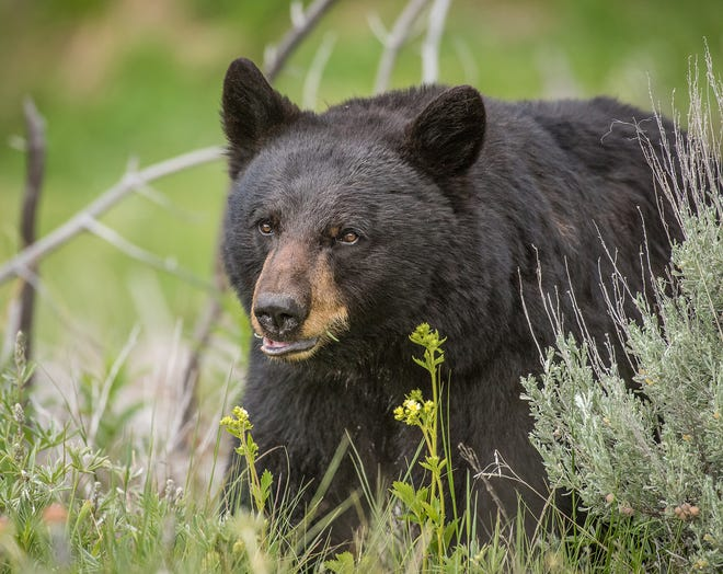 Black bears are the only bears that aren't extinct in California.