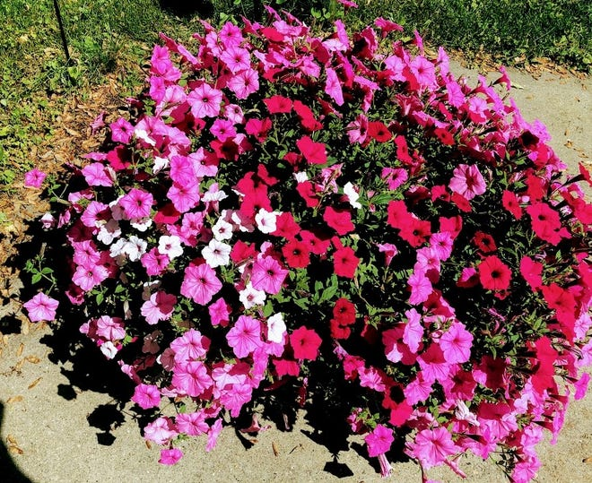 Petunias are native to South America and there are umpteen different varieties of them.