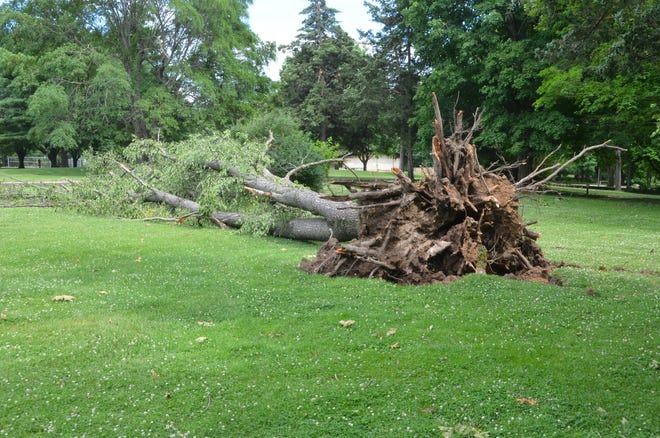 This was one of many trees uprooted during the weekend storm.