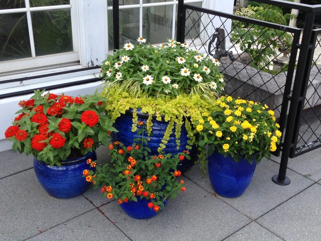 Lantana, zinnias and lysimachia arranged in a group of containers for extra impact.