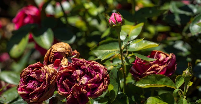 Deadheading garden plants like these spent roses will help keep them vigorous throughout the growing season.
