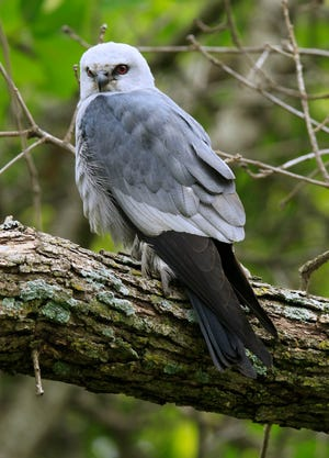 A Mississippi kite perches on the branch of a dead tree. Unwitting passersby might find themselves on the run if they get too close to Mississippi kites protecting their nests.