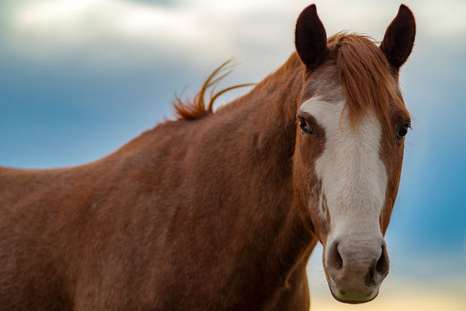 Horses are popular in Oklahoma, numbering about 250,000 animals.