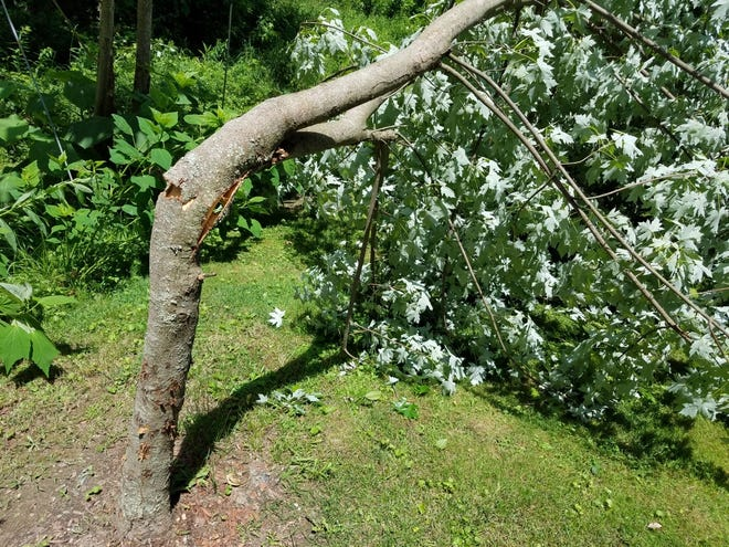 A maple tree trunk snapped in Monday afternoon's winds at the home of Jill and Gene Carothers near Dennison. TIMES-REPORTER/NANCY MOLNAR