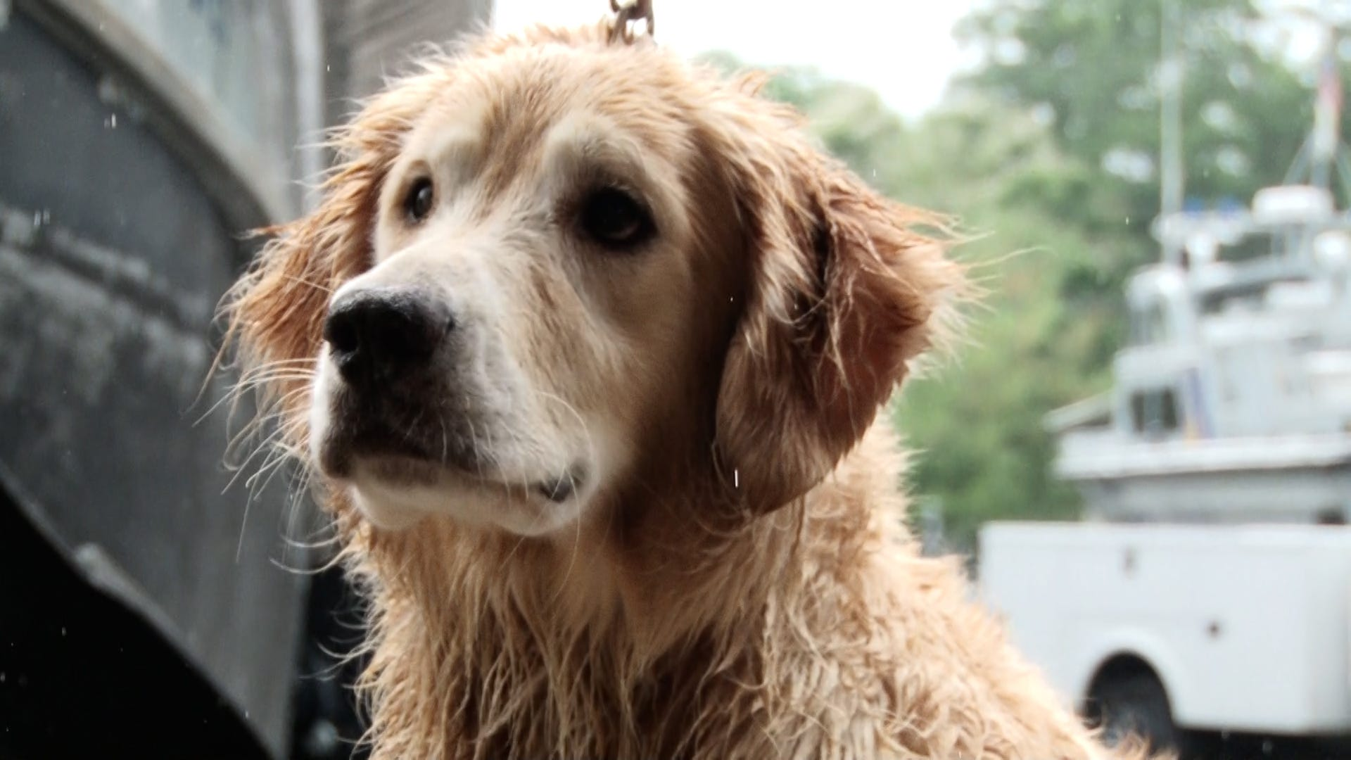 Missing for over two weeks, Chunk the Golden Retriever is found