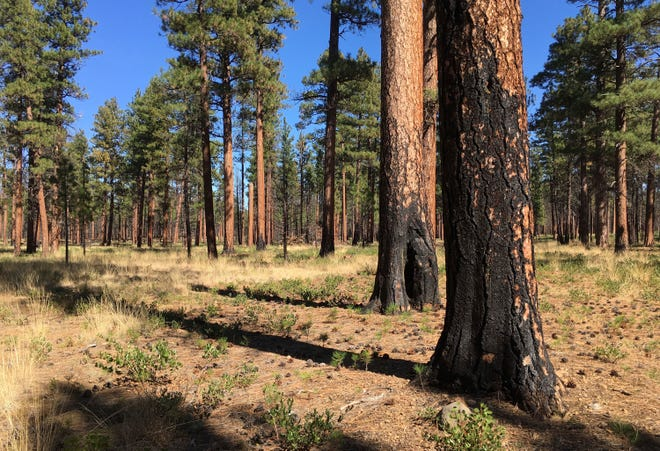 FILE - A September 2017 photo, shows charred trunks of Ponderosa pines near Sisters, Ore., months after a prescribed burn removed vegetation, smaller trees and other fuel ladders . Hundreds of millions of acres of forests have become overgrown, prone to wildfires that have devastated towns, triggered massive evacuations and blanketed the West Coast in choking smoke.