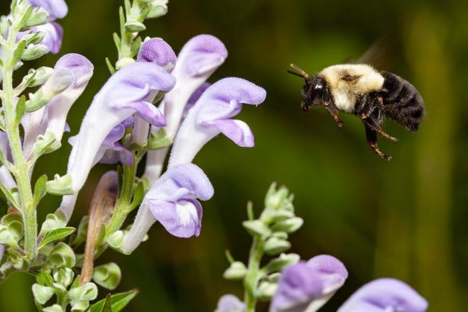 A bumble bee pollinates hoary skullcap (Scutellaria incana).