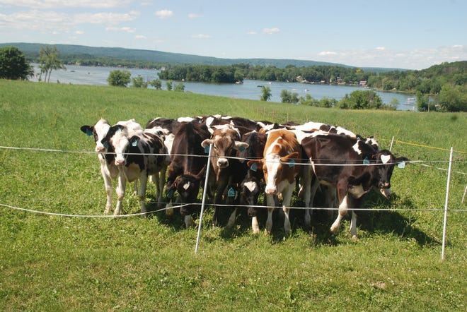 At Schoepp Farms near Lodi, a group of heifers enjoys a view of Lake Wisconsin as well as a fresh sward of forage as they eyed a visitor to the farm.