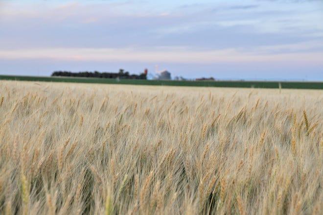 Evening wheat field