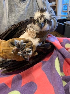 The Cape Cod Wildlife Center rehabilitates a wide variety of mammals along with eight species of migratory birds that are injured or orphaned, and releases them back into the wild.
