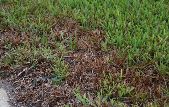 Got patches like this in your lawn? Chinch bugs are a likely culprit.