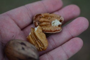 Pecan growers can learn about a range of topics during the June 28 webinar.
