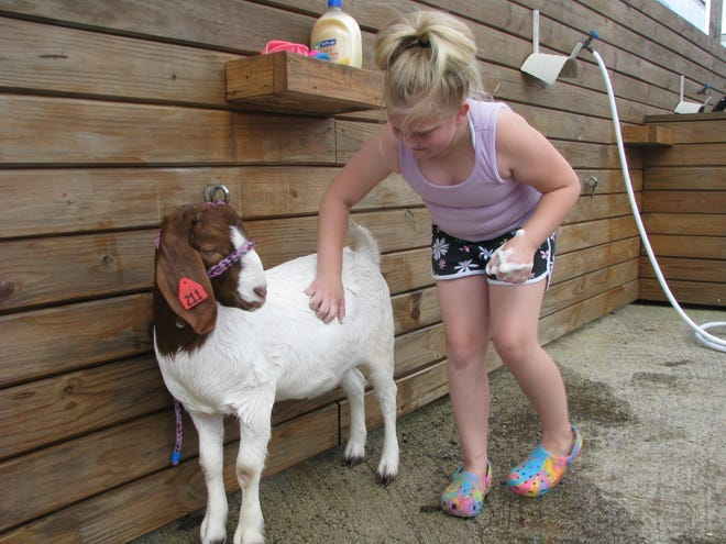 """Gracie Jones of Burlington gives """"Tippy,"""" her Boer goat, a bath Monday in preparation for the week's livestock shows at the Mineral County Fair. This is Gracie's first year exhibiting as a 4-Her in the Klover Krusaders Club, although she had previously shown animals in the fair when she was a Cloverbud. She says raising and showing animals at the fair is fun, and she also enjoys spending time with her friends during the week. The fair continues through Saturday."""