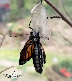 """Local naturalist Stephen Lyn Bales will present, """"The Mystery of Monarch Metamorphosis"""" on zoom, as part of  the Arboretum Society's First Thursday Nature Supper Club event at 7 p.m. Thursday, July 1, 2021."""