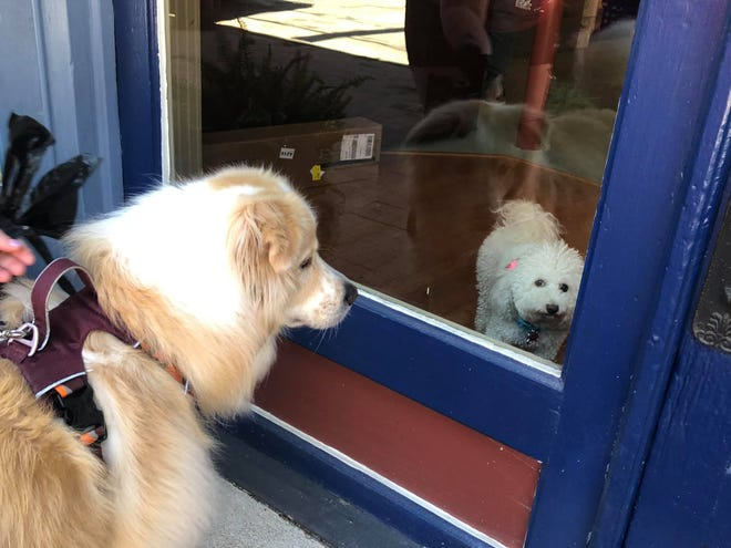 """Two-year-old Great Pyrenees Bernard owned by Rachelle Hall of Petersburg takes a break from his daily walk to peer through the window at Enlightment Family Services at two-year-old Bichon Frise in Old Towne on  June 17, 2021. """"Bella's my therapy dog. She provides me companionship and whatever I need. She's just warm and fuzzy. I have kids that come in the afternoon. If they aren't in a good mood, they just pet her and feel better. She's family,"""" shared owner of the business and Bella's human friend Lynda Daniely."""