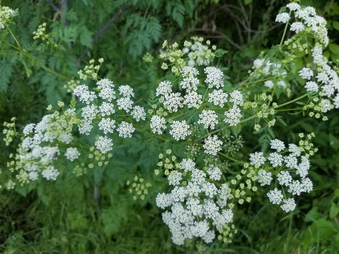 Umbrella-like flower clusters similar to Queen Anne's lace are one way to recognize the hazardous weed poisonous hemlock.