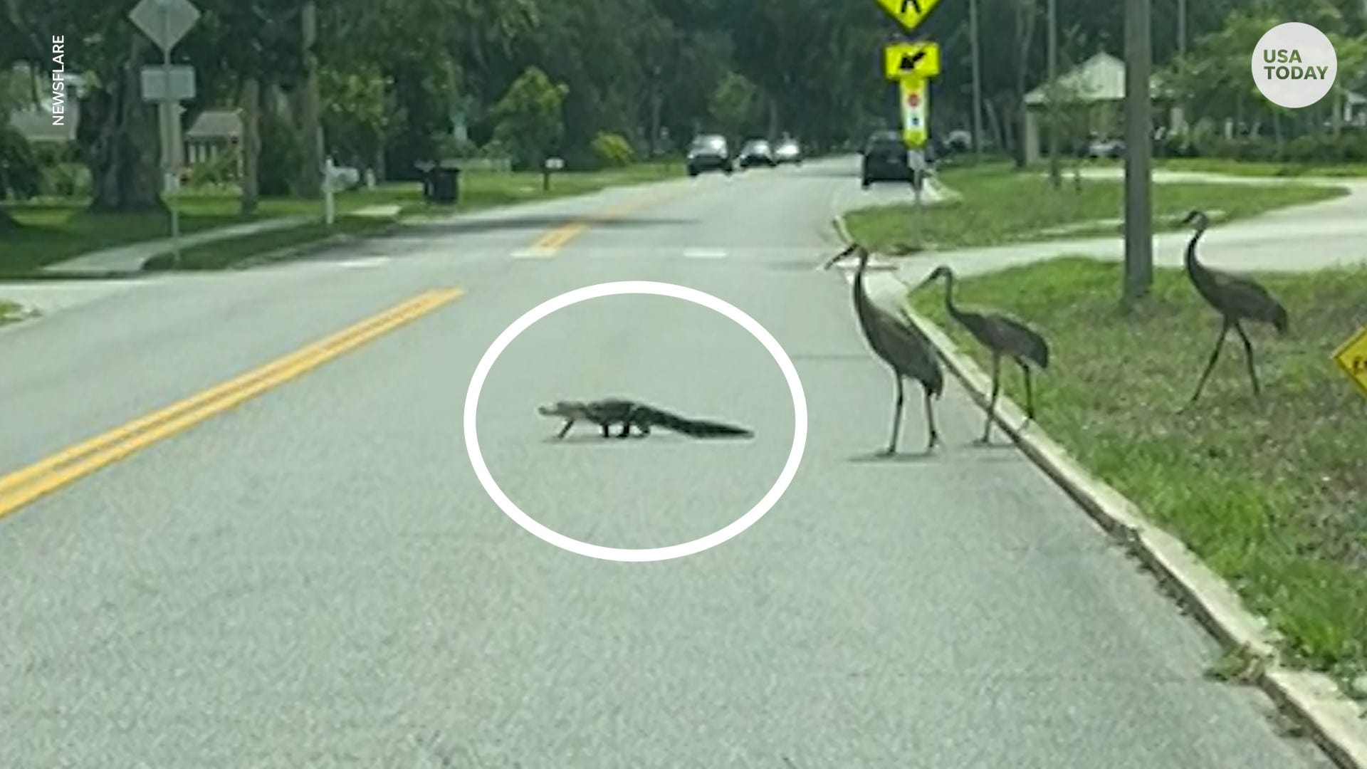 Gator tries to run away from three needy cranes