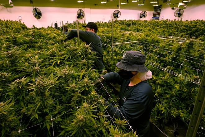 Workers trim cannibis plants in Va., 2021.