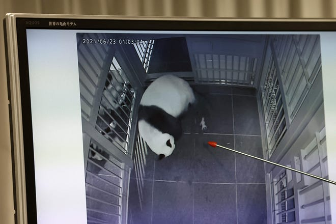 Ueno Zoological Gardens staff Naoya Ohashi shows an image of giant panda Shin Shin giving birth to the first of her twin cubs at Tokyo's Ueno Zoo.