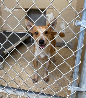 """Dogs at the Bastrop County Animal Shelter have been kept in their kennels 24 hours a day on """"health watch"""" due to a distemper outbreak at the facility."""