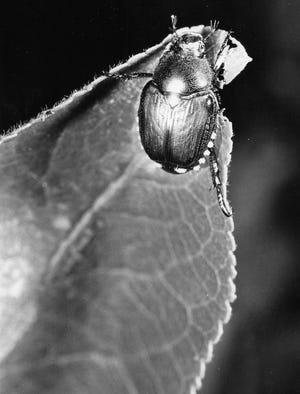 桃の木の葉に、日本のカブトムシが井戸ゴリプニダ。
