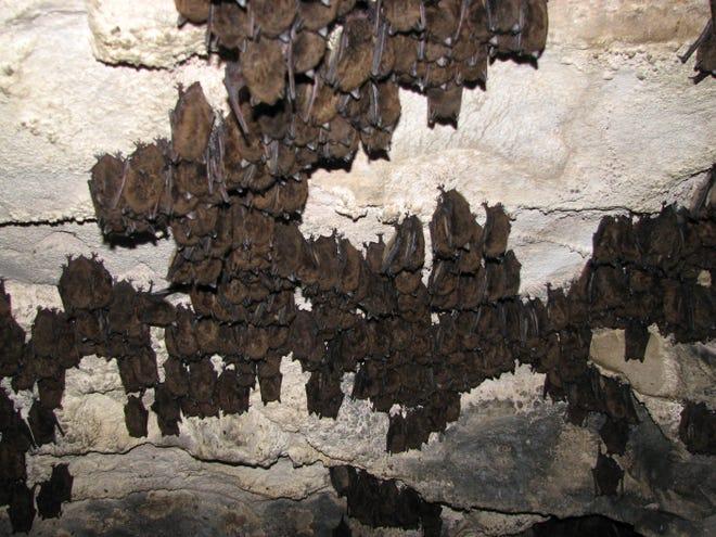 Bats hibernate in a Vermont cave.