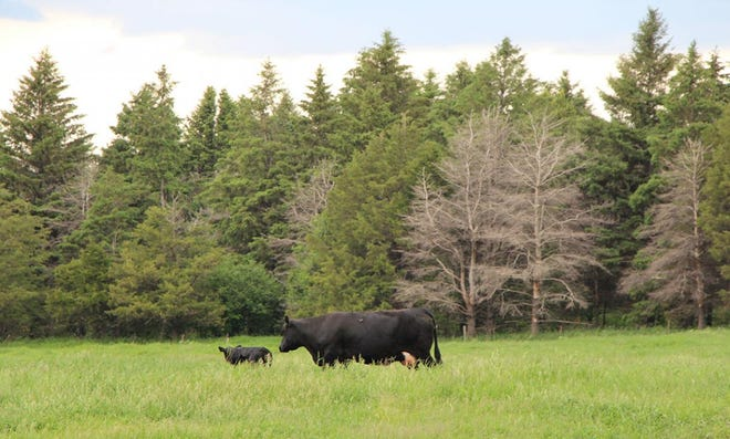 A cow and calf graze in eastern South Dakota.