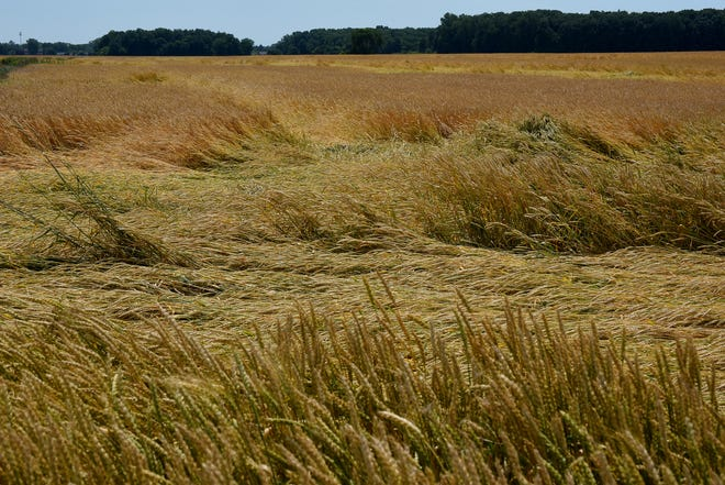 Recent storms have damaged wheat fields on Bates Lanes and around the corner of Stewart Rd. in Monroe.