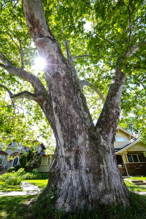A giant sycamore tree  standing at 100 S. Military Road is believed to be the oldest tree in the city, dating back to the Civil War era.