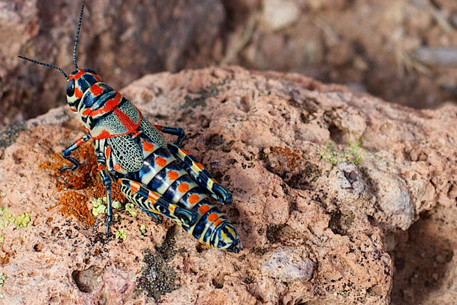 This colorful rainbow grasshopper (Dactylotum bicolor) can be easy to find in desert grassland areas, but is not considered to be an economically important pest in our region.
