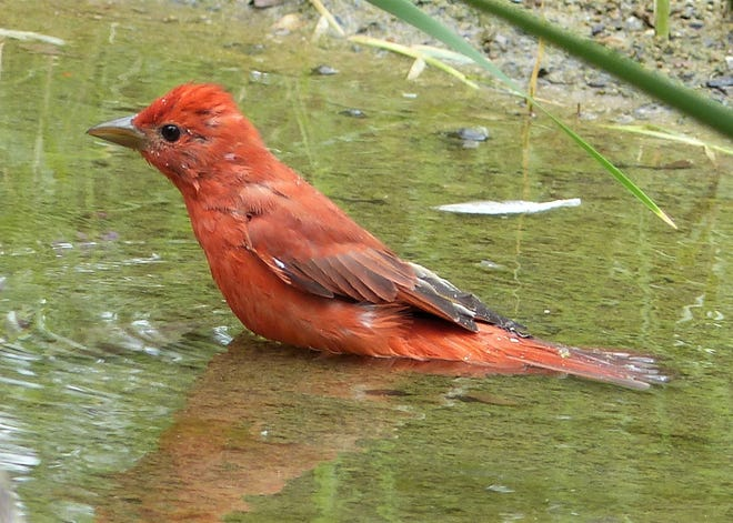 A male summer tanager enjoys a cooling bath.
