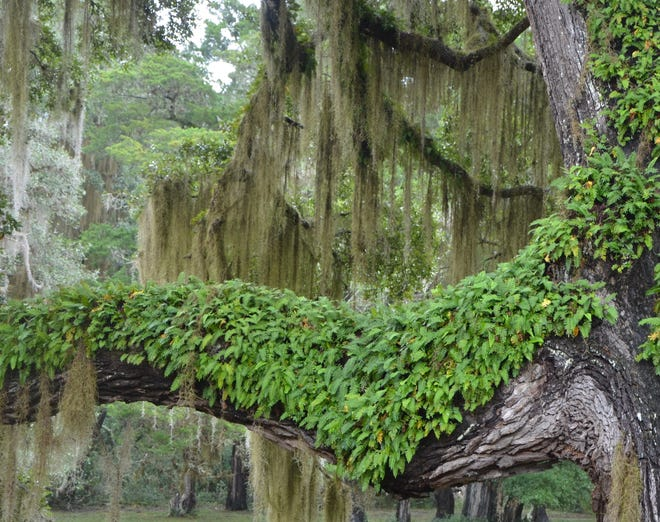 Resurrection ferns are found in many mature hardwood trees locally. This fern is an air plant which can prosper on skimpy amounts of water and plant nutrients.