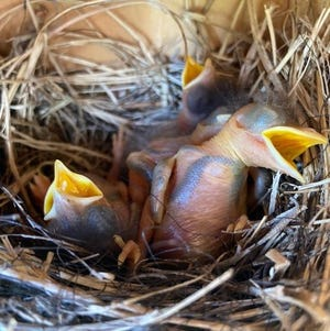 The bluebird pairs at the Range Cattle REC are currently raising their second and third nests of the year.