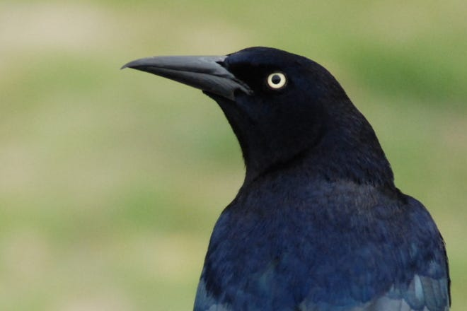 A male great-tailed grackle.