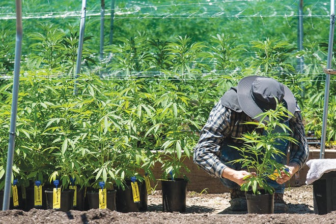 An Employee is seen checking the tracking tag on a marijuana plant at Apothecary Extracts grow site in Beggs.