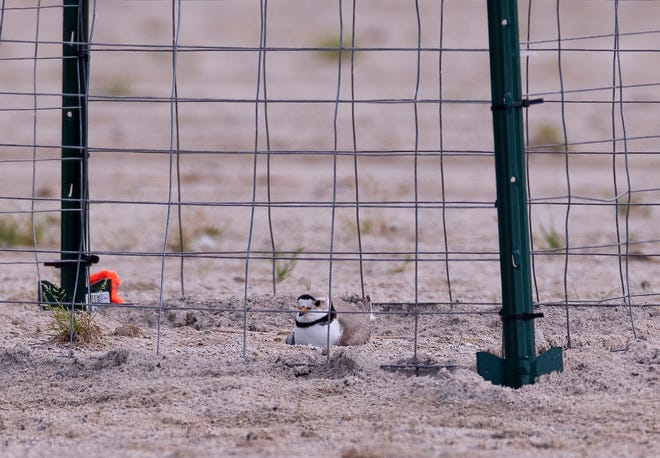Nish, a male piping plover, incubates eggs in a protective enclosure at Maumee Bay State Park.