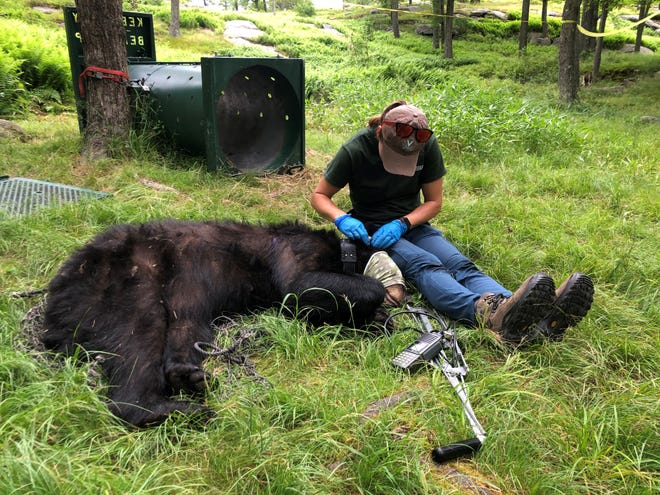 Emily Carrollo, Pennsylvania Game Commission wildlife biologist, works on a tranquilized black bear as part of her ongoing research.