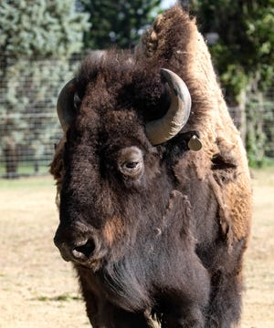 Titus, a bull bison at Lee Richardson Zoo, has been diagnosed with oral cancer.