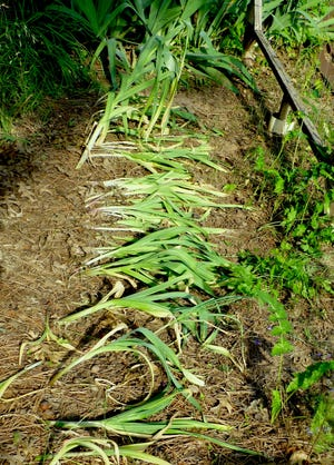 A row of mature softneck type of garlic. The weight of the heavy leaf blades has caused the neck to collapse, and leaves to fall over, signaling cloves are ready for harvest.
