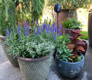 When it's extremely hot, as forecasted for this weekend, water in the morning to give plants time to take up moisture before the worst heat.