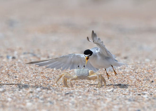 """""""Turf Wars"""" by Brenda Mitchell won the Wild and Wondrous category and Best in Show at the 2021 Summer Photo Contest sponsored by the Conservation Foundation of the Gulf Coast."""